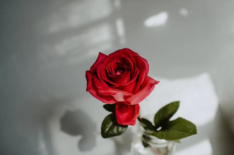 赤い1輪の薔薇
